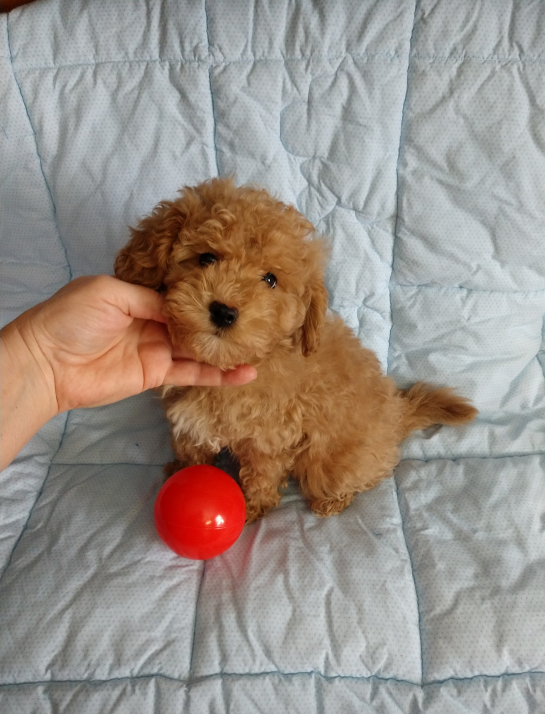 Available Puppies Little Happy Tailstoy Sized Family Friendly