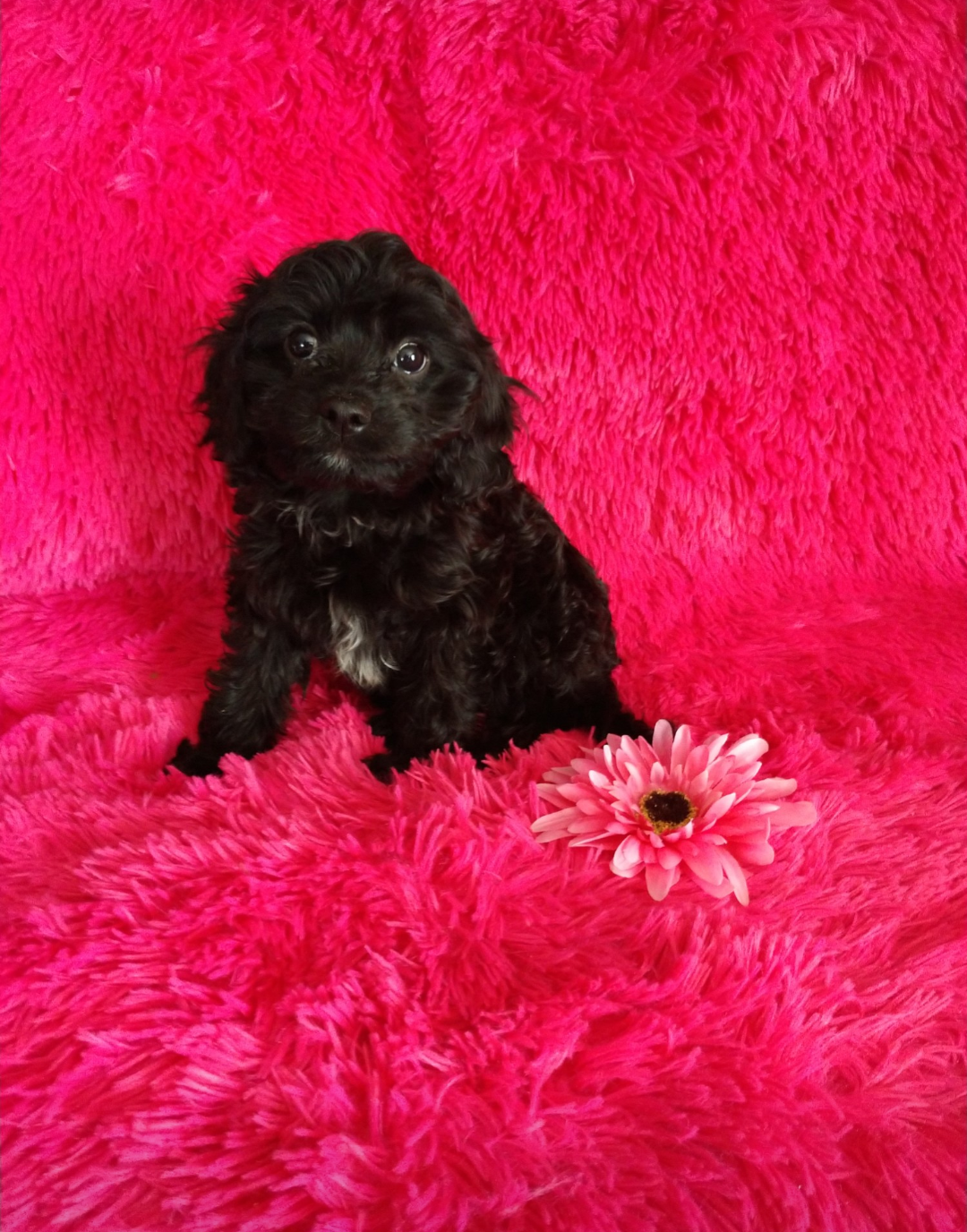 Available Puppies - Little Happy Tails   Toy Sized Family Friendly